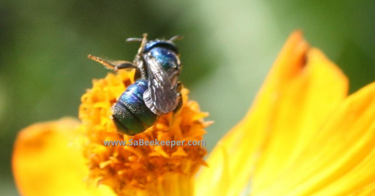a native blue bee in Ecuadro SA