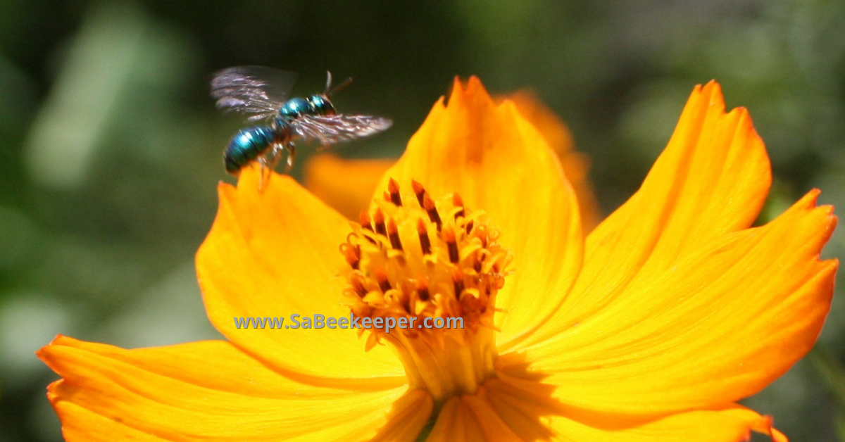 a blue bee flying off to another cosmos flower