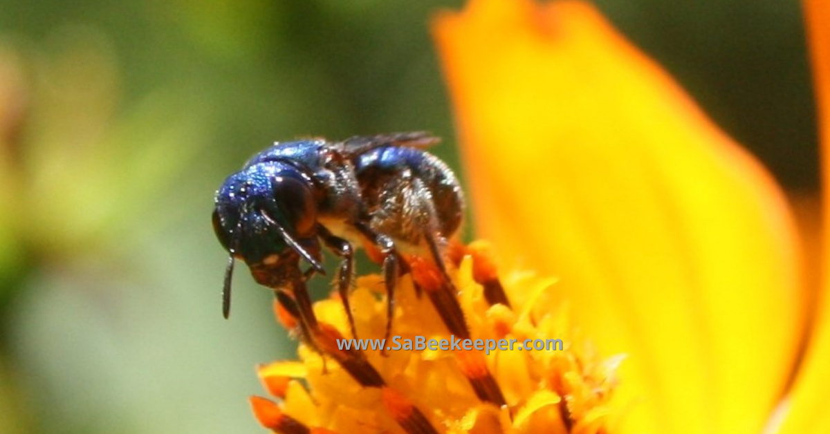 Close up of the face of this blue native bee and showing her eyes and coloring well