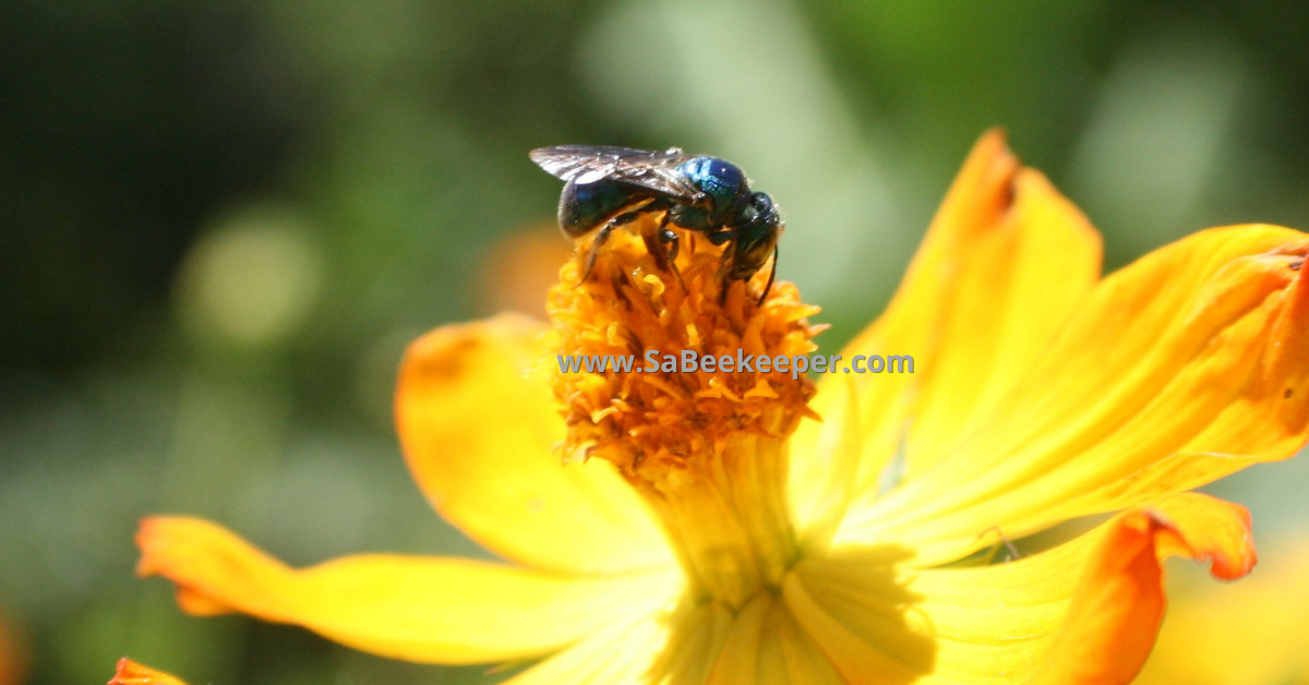 Cosmos flowers and a blue native bee