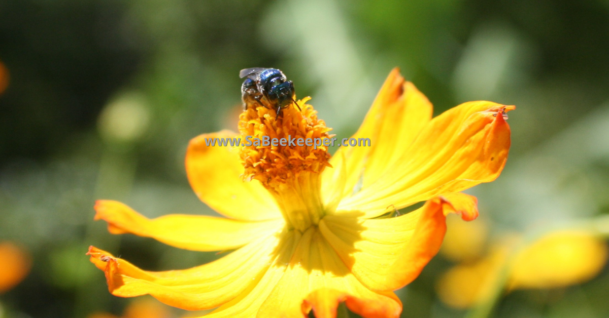 Blue native bee on cosmos flowers