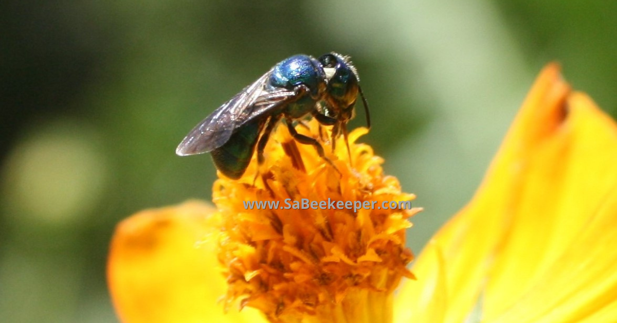 a closer up of the blue native bee on cosmos flowers