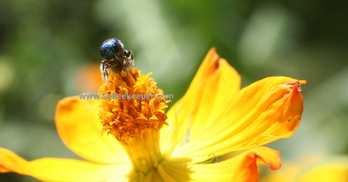 The face of this native blue bee on cosmos flowers