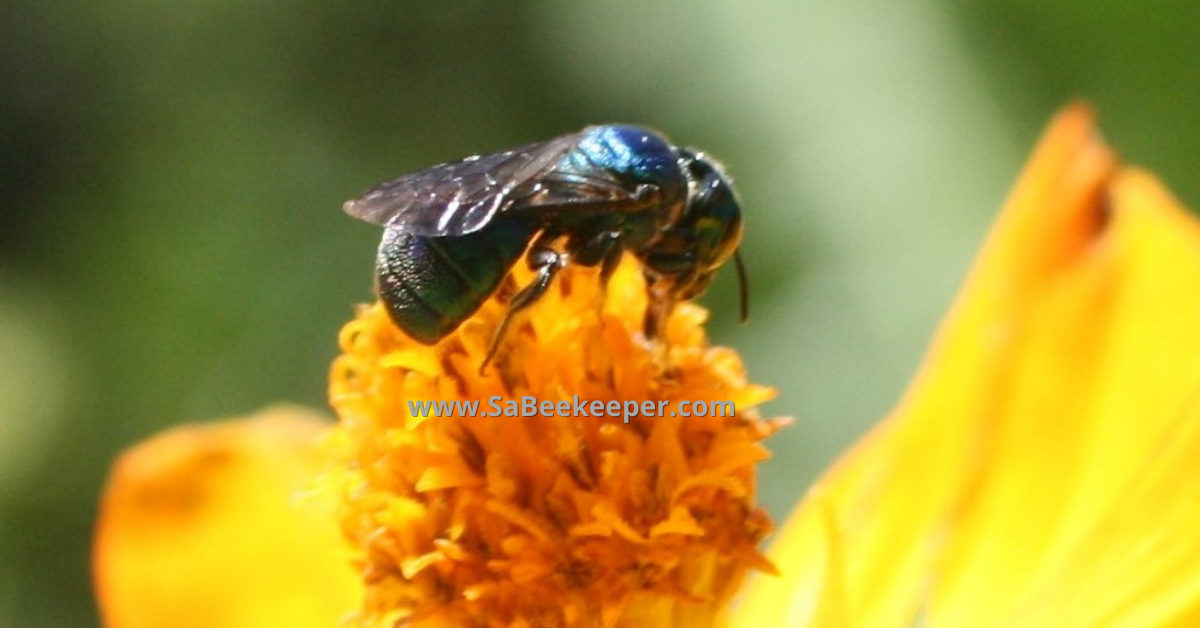 a full body close up of this native blue bee on cosmos