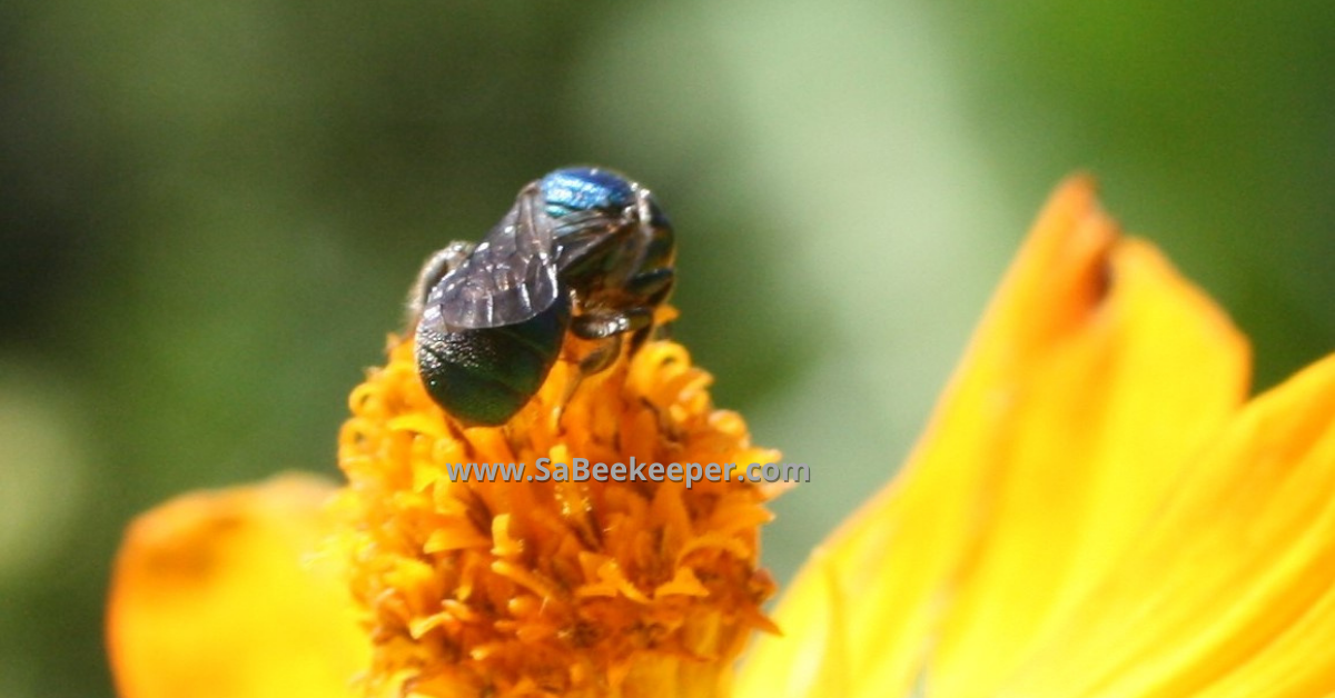 another photo of this blue native bee on cosmos in south america ecuador