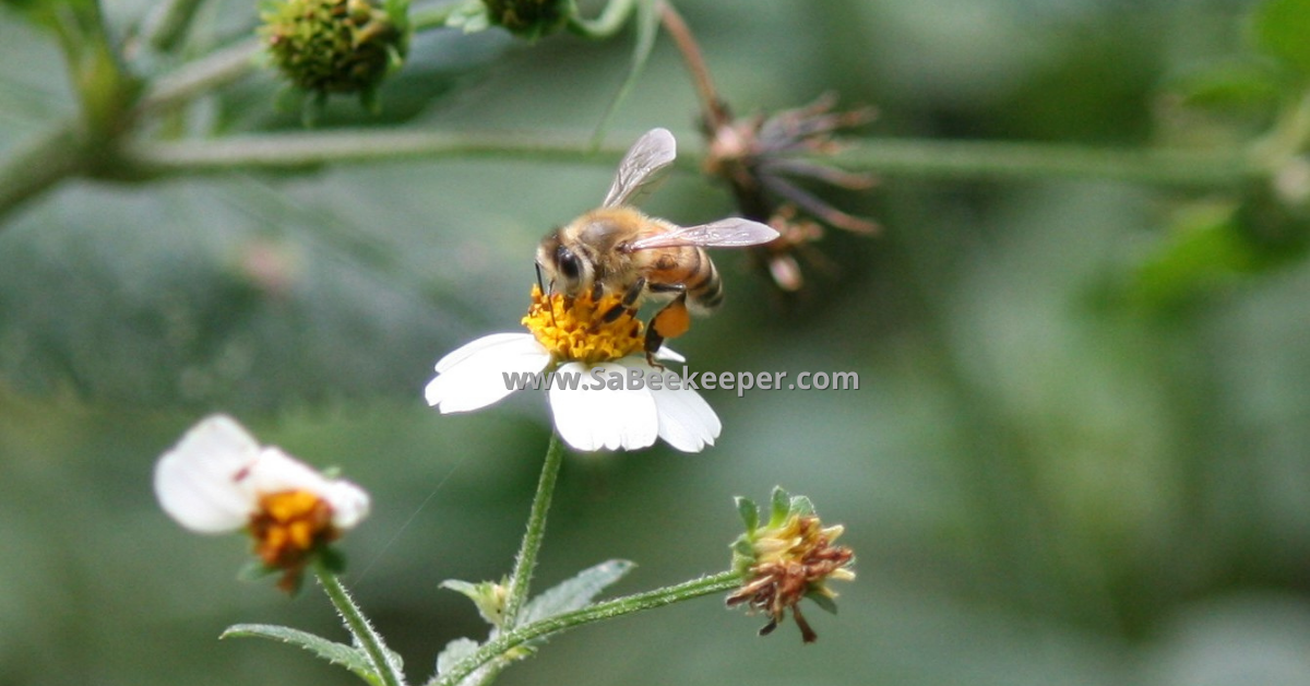foraging honey bee on a black jack flower