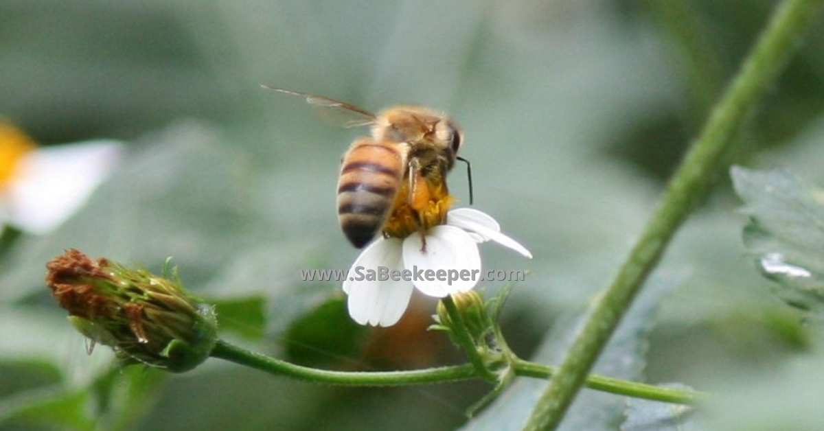 honey bee foraging on a small black jack white flower