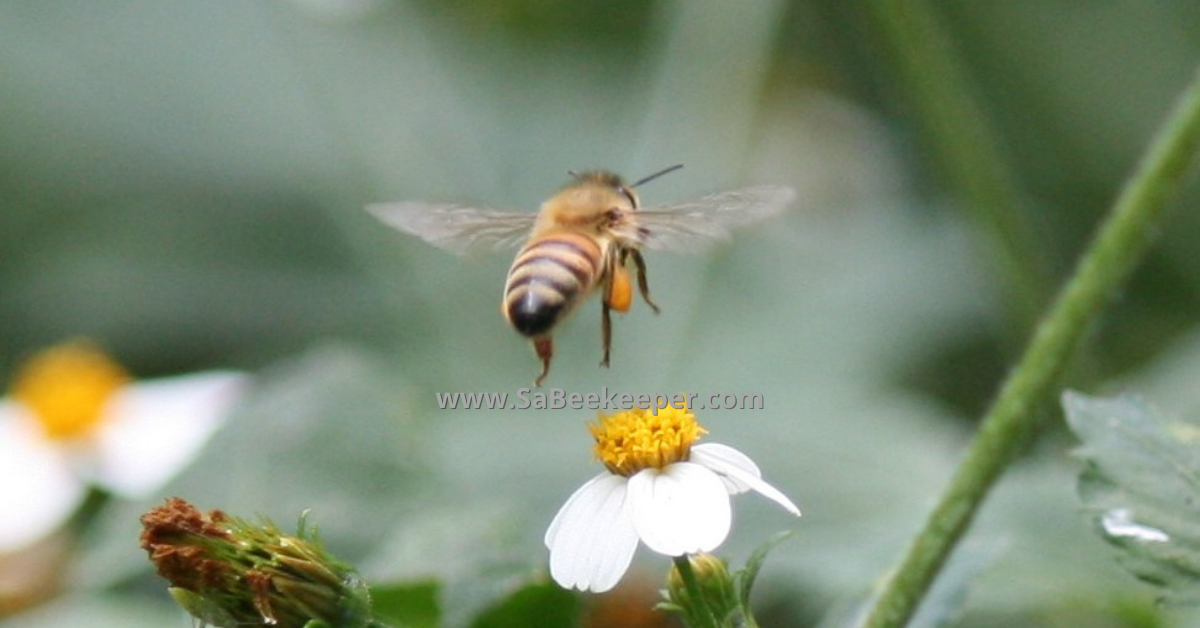 a pollen filled pollen baskets of a honey bee flying from flower to flower