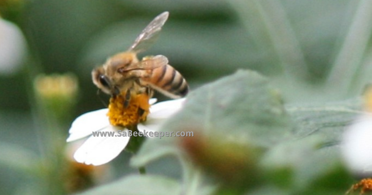 honey bee foraging on small flowers
