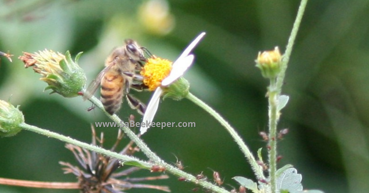 a honey bee foraging on black jack flowers