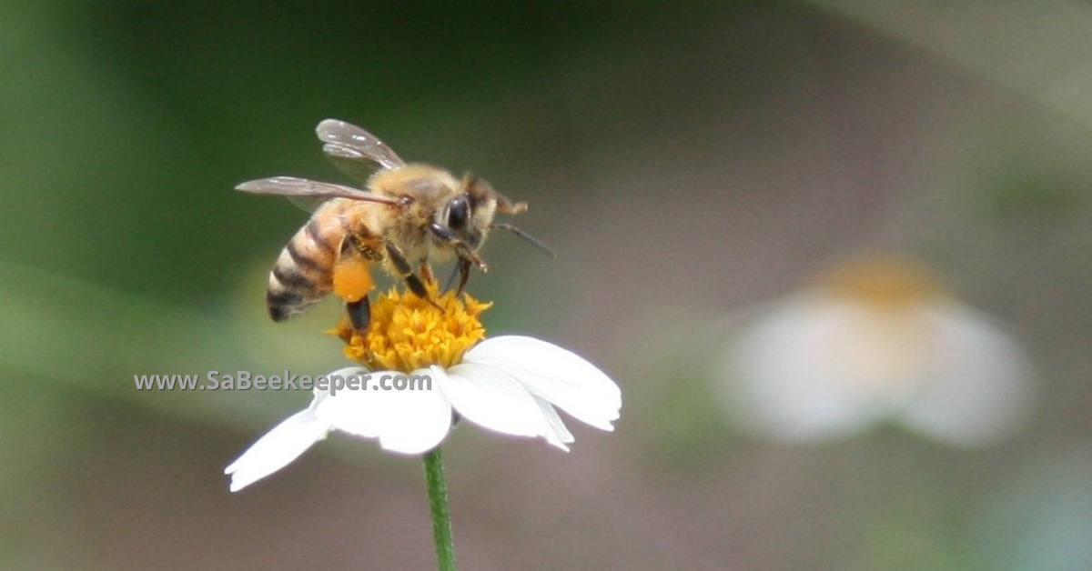 A black jack flower and an Ecuadorian honey bee foraging with pollen in her pollen baskets