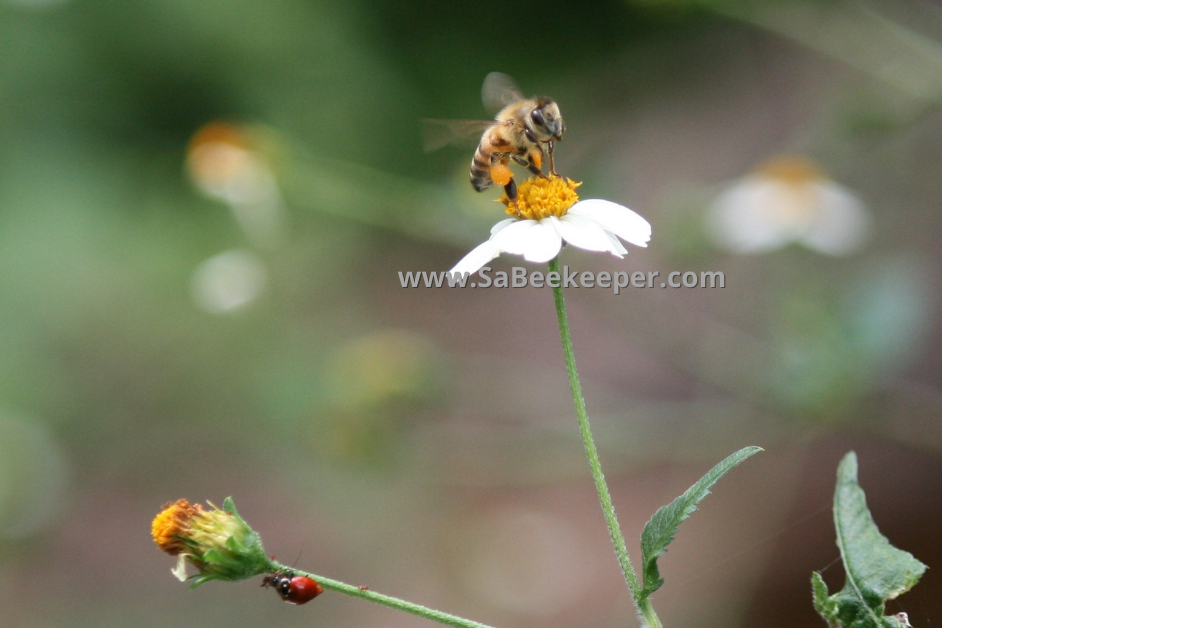 a red beatle on the stem of this black jack flower and honey bee full of pollen on the flowers
