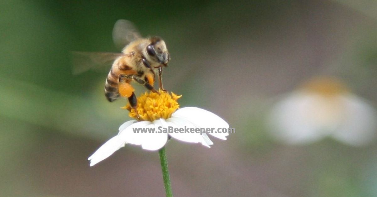 a honey bee taking off of a small flower with orange pollen in her pollen baskets