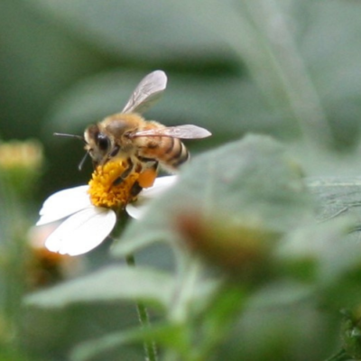 Foraging Honey Bees on Flowers