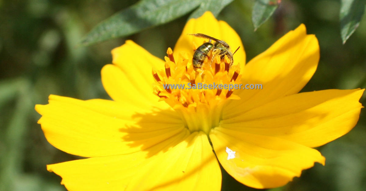 a yellow cosmos flower with a sweat bee foraging