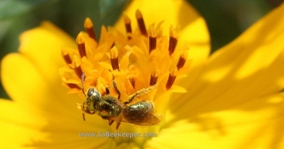 Green metallic sweat bee on cosmos