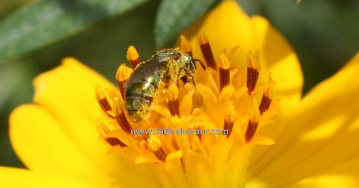 a close up of the sweat bee on cosmos