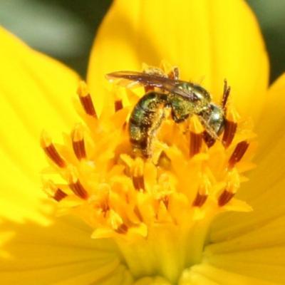 Green Metallic Sweat Bee on Flowers