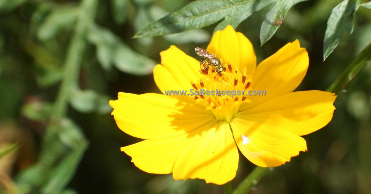 sweat bee green and metallic, glistening in the sun