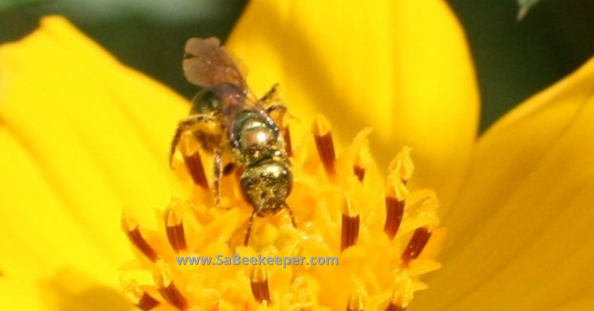 the face view of the green sweat bee on the flower