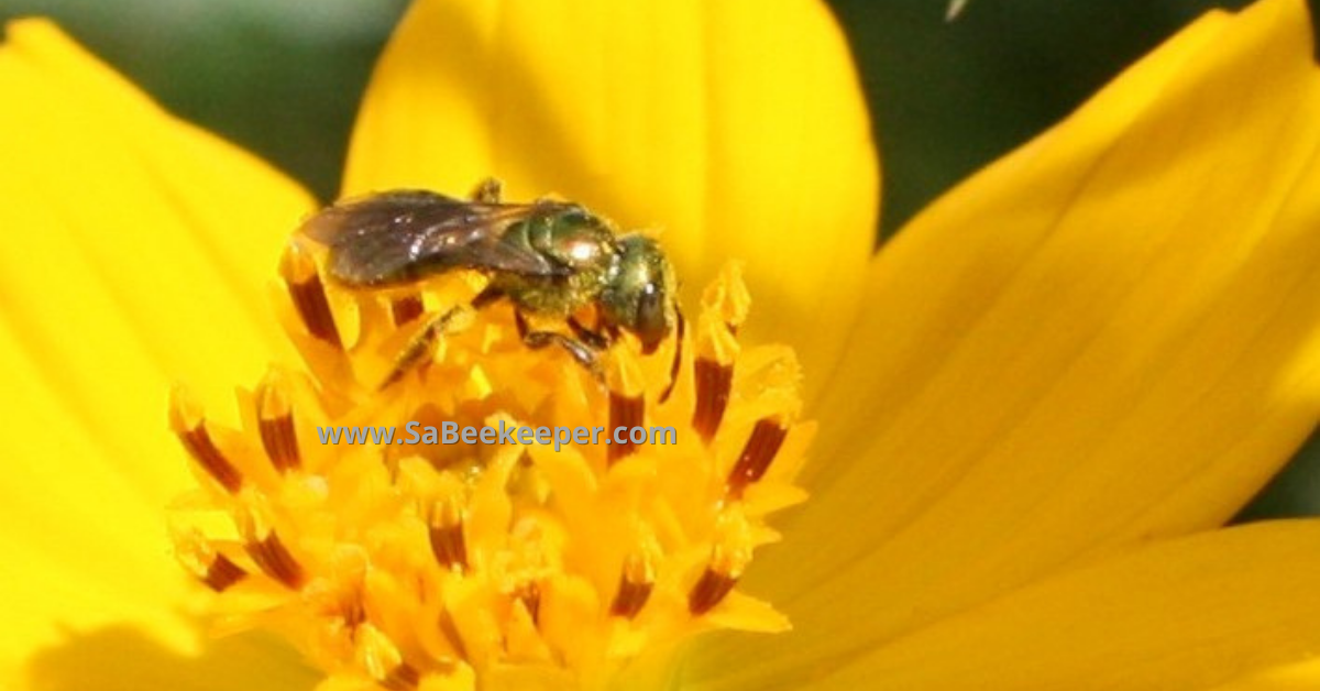 yellow cosmos flower with a green metallic sweat bee foraging and collecting pollen