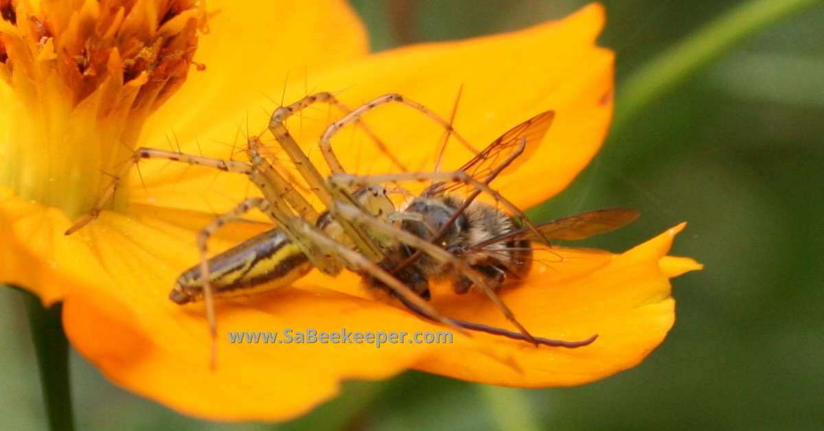 a spider catches a honey bee on flowers