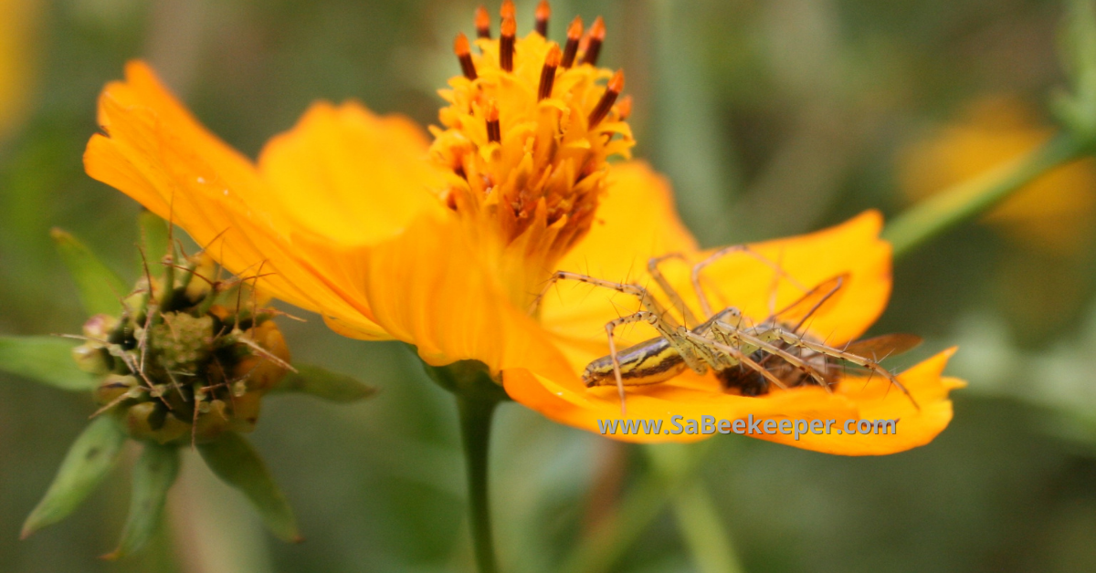 spider caught a honey bee on petals of the cosmos