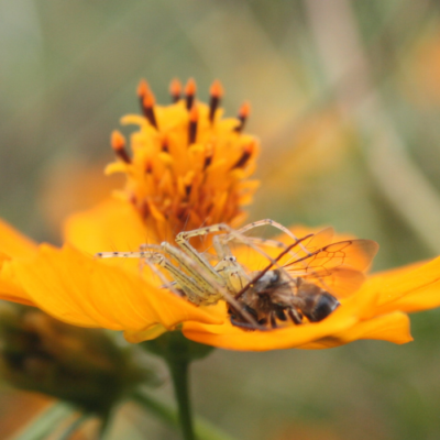 Spider Catches a Bee for Prey