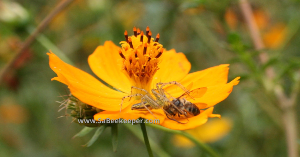 a spider on the cosmos flower petals that has caught a honey bee
