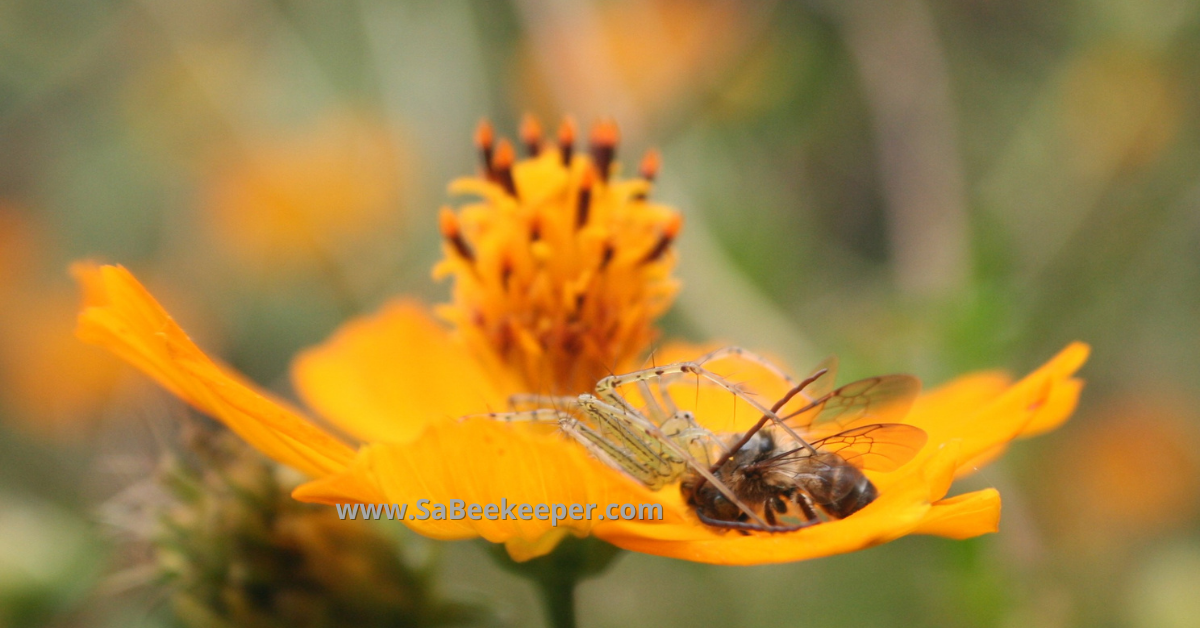 a yellow cosmos flower and a honey bee caught by a spider