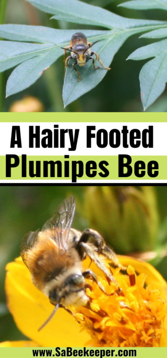 Pinterest image of A Hairy Footed Plumipes Bee.