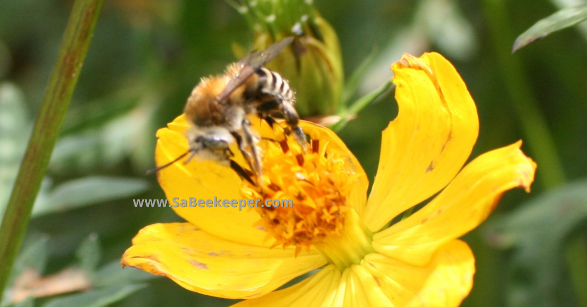 a plumipe bee on yellow cosmos flowers