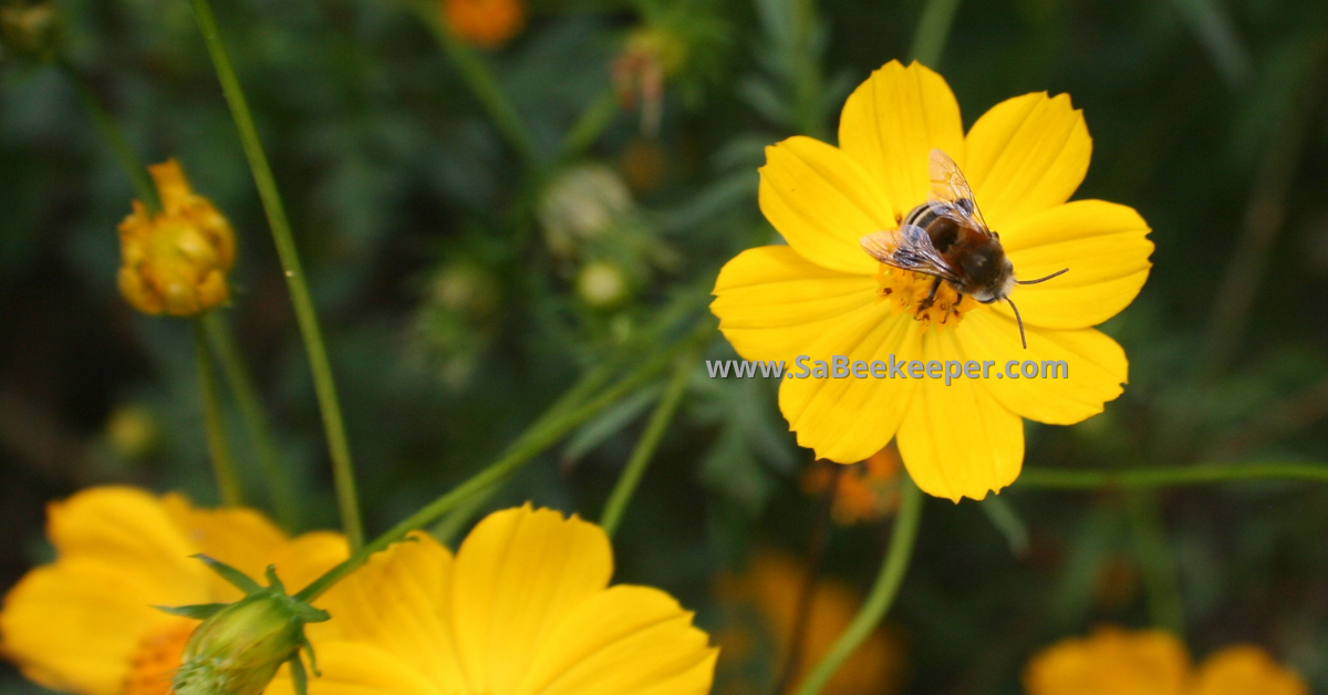 a hairy footed flower bee called a plumipe bee on cosmos in the garden