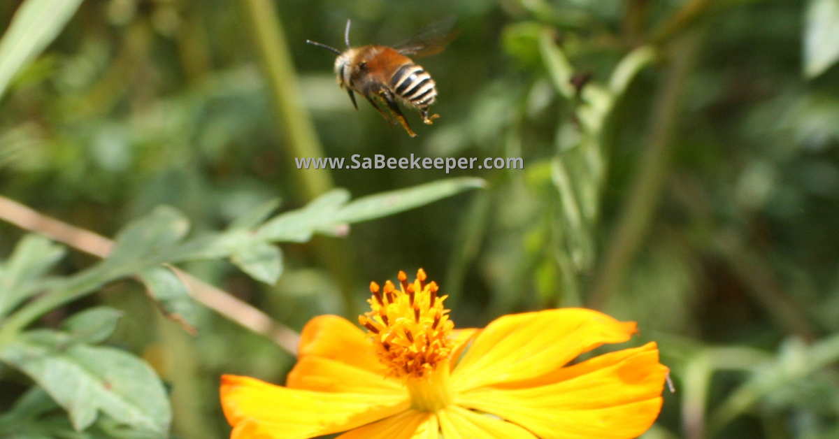 a plumipe bee of to another flower