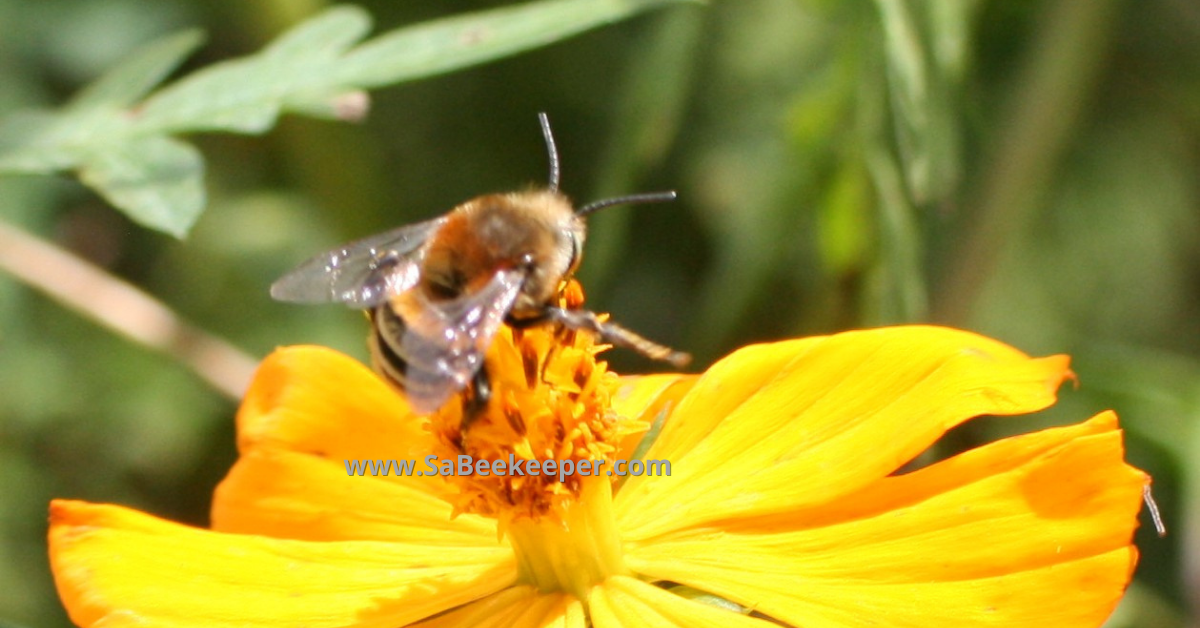 a subfamily of the bumblebee is the plumipe bee