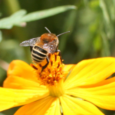 A Hairy Footed Plumipes Bee