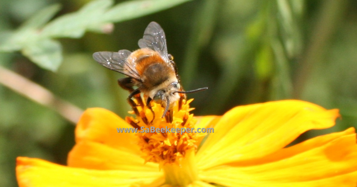 close up of the front of the plumipe bee