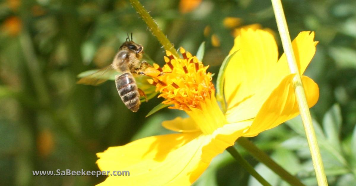 A darker honey bee called carniolans honey bee on a cosmos flower