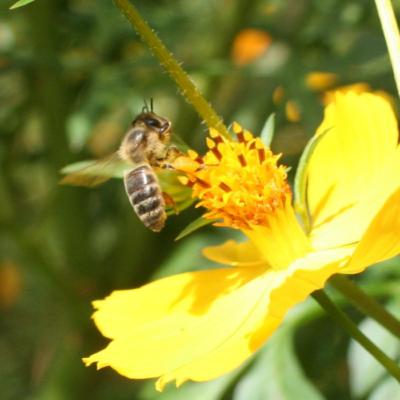 Different Honey Bee Species