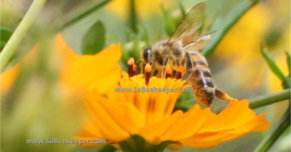 A Carniolans, honey bee species. That is the same subspecies as the dark bee but has more gold on the upper abdomen on flowers