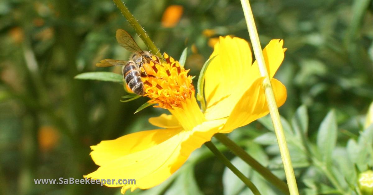 a darker honey bee called Carniolans, honey bee species on yellow cosmos flowers