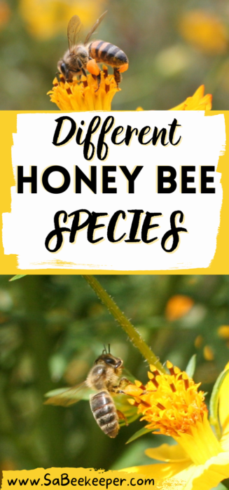 a pinterest template of different honey bee species
