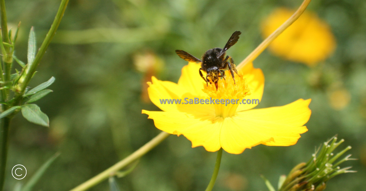 a black bumblebee on cosmos flowers full of pollen