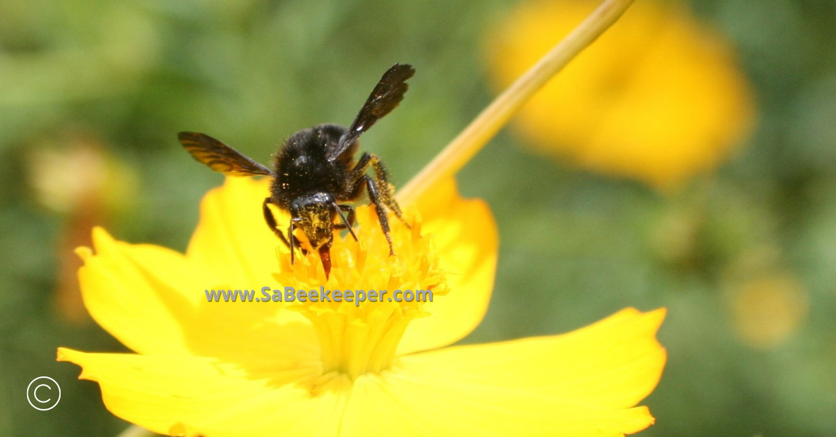 a close up of a black bumblebee on cosmos flowers full of pollen