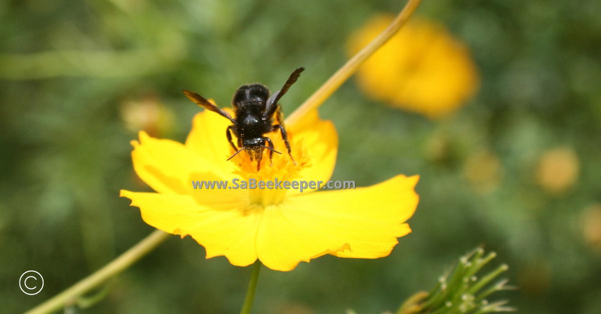 social black bumblebee on cosmos flowers
