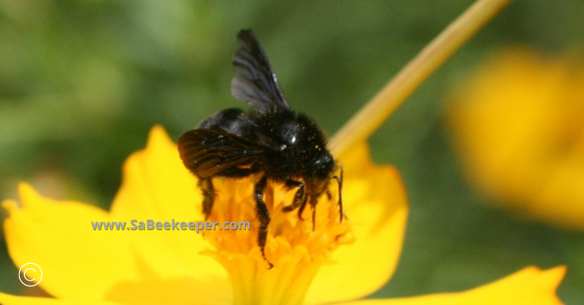 digging for nectar a black bumblebee on cosmos flowers
