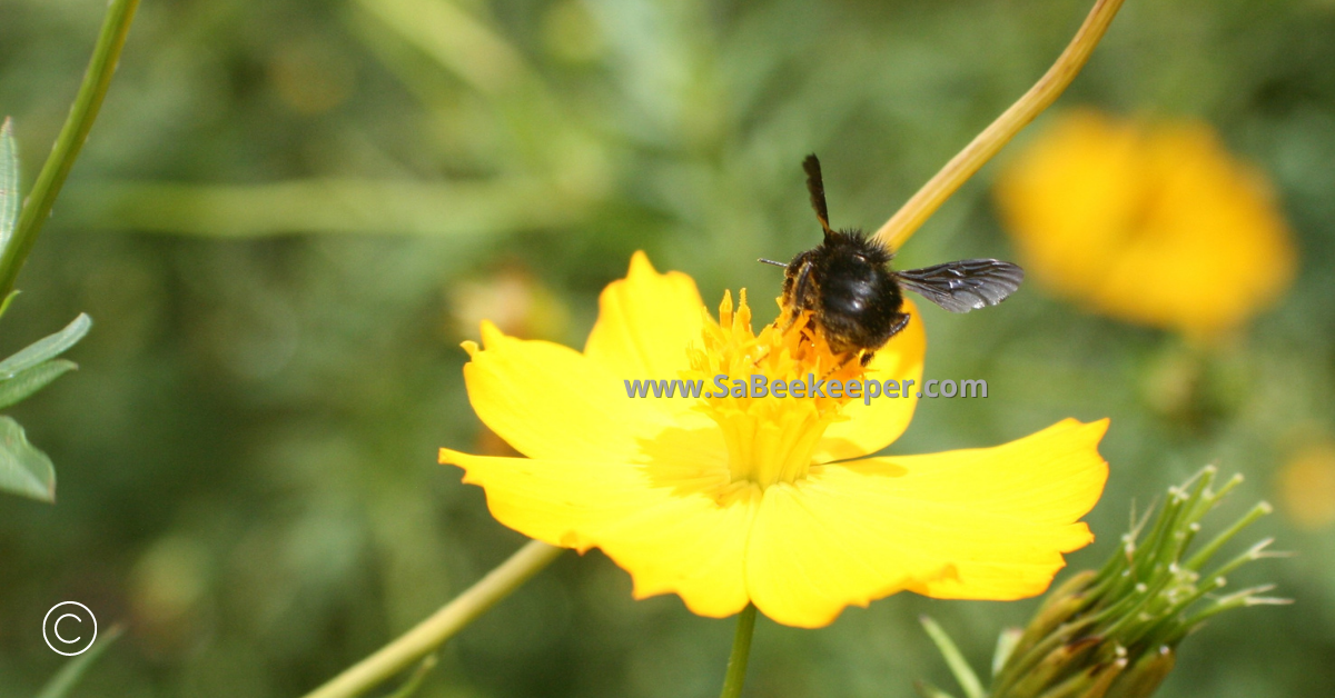 the rear of a black bumblebee on flowers being social
