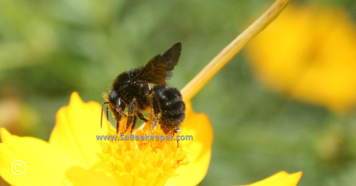 full of pollen this social black bumblebee