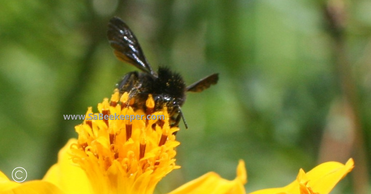 dark wings and hairy body and legs of a black bumblebee