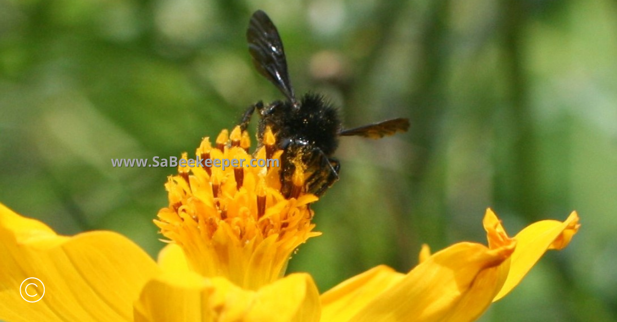 a black bumblebee on cosmos flowers